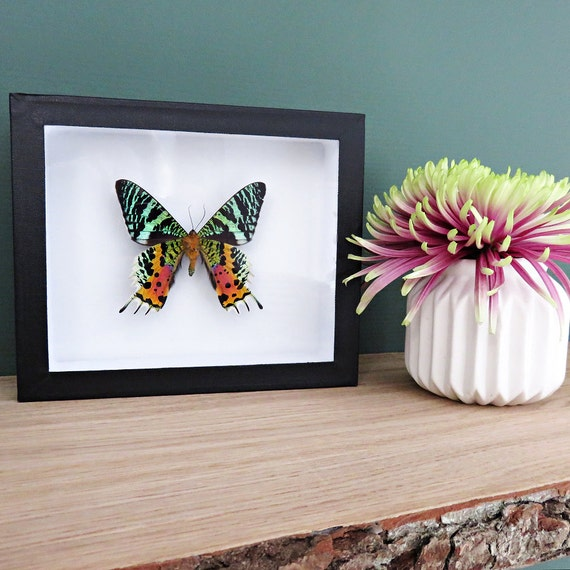 Real framed butterfly: Urania ripheus // multicolour & shiny