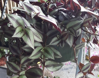 Wandering Jew -Purple, Green, and Red