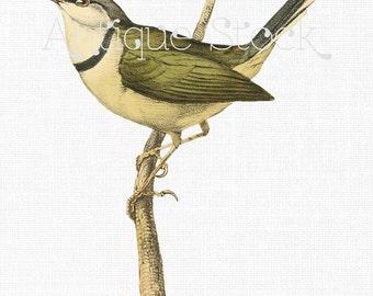 Vintage Bird Illustration - Bar-throated Apalis Digital Download Image for Wall Art, Prints, Decoupage, Collages, Invites, DIY Cards...