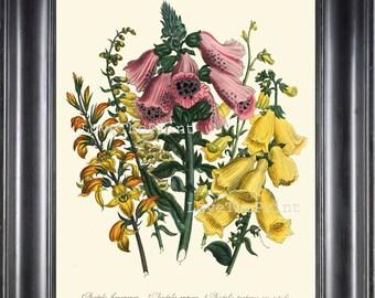 BOTANICAL PRINT Loudon Flower  Botanical Art Print 70 Beautiful Antique Foxglove Plant Garden Pink Yellow