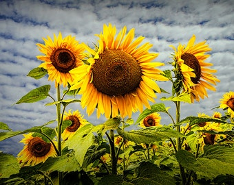 Blooming Sunflowers in a Field near Rockford Michigan No.236 A Fine Art Yellow Flower Nature Photograph