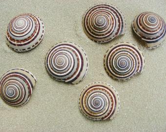 "Architectonia Perspectiva (Sundials) 1"" - 1.5"" (1 piece) ~ Sea Shells ~ Beach Decor"