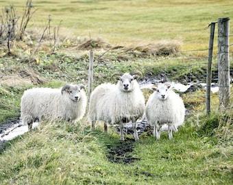 Sheep Print Animal photography Sheep Photo Animal print Sheep Picture Farm animal print Barn animal photo Picture of sheep Farm Wall Decor