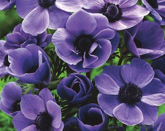 50% OFF  10 Purplelicious Windflowers  ~~limited time offer
