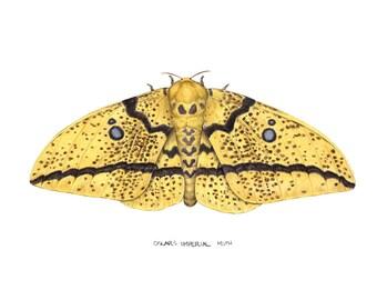 Oslar's Imperial Moth (Eacles oslari)