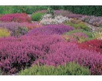 Scotch Heather Seeds, Calluna Vulgaris, Flower of Passion, Shrub, Evergreen, Perennial, Common Heather, Heath, Lyng, Scottish Heather