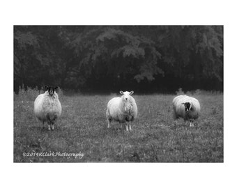 We Three Sheep Fine Art Photography Black and White Scottish Sheep Rural life simple country farm life quirky funny large wall art Scotland