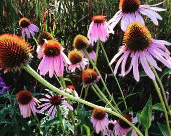 Purple Coneflower Seed, Echinacea purpurea, Butterfly Garden Favorite, Prairie Plant, Wildflower Garden Seeds