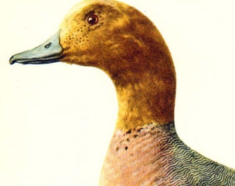 Wigeon Duck Anas Penelope Bird Ornithology Natural History Lithograph Print 1960s Illustration To Frame 104