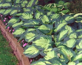 Great Expectations Hosta 1 Gallon Plant