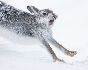 Mountain Hare - Yawn and Stretch