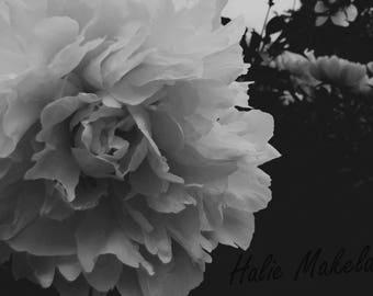 Black and White Peony