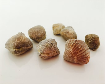 Seashell fossil, fossilized shell, curiosity, terrarium, bivalve, shell fossil, fossil collection