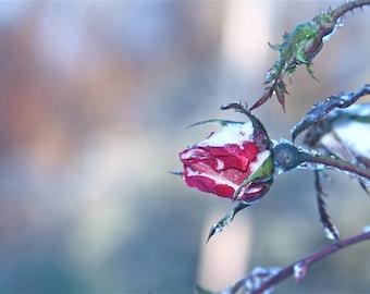 Snow Rosebud Photography, Flower Pink Frozen Art Print Winter Silver Nature Wall Art Wall Decor