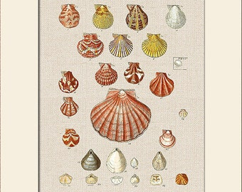 Sea Shell Print, Plate 9, George Sowerby, Art Print with Mat, Note Card, Natural History Illustration, Wall Art, Nautical Art, Costal Decor