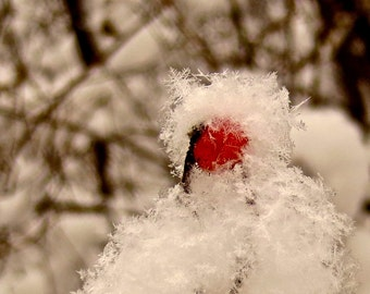 Nature Photography, Great Lakes, Michigan, Snow, Berry, Snowflake, Red, White, Wall Art, Christmas, Winter, Photography, Fine Art Print