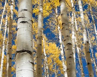 Aspen trees fall photo, Colorado aspen wall art, fall trees photo, log cabin decor, fine art photography, rustic wall art | Stately Aspens