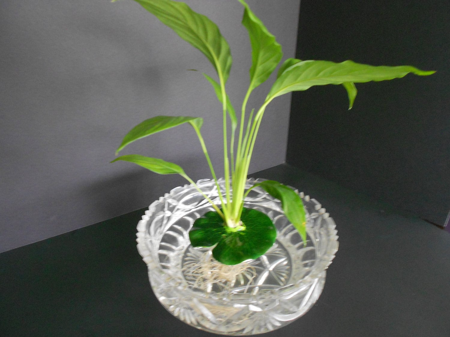 Floating peace lily perfect for fish bowls and aquariums zoom reviewsmspy