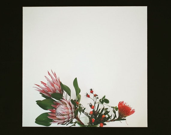 Protea Blooming Photo