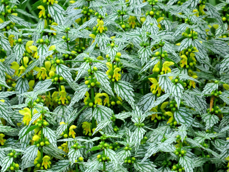 Lamium Lamiastrum Galeobdolon Hermans Pride Perennial Plants