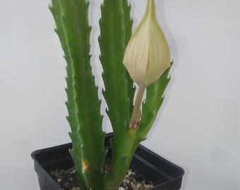 Stapelia Gigantea, Cacti & Succulents, Apocynaceae, 4in Potted Plant