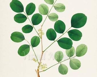 Bombay Blackwood Art Print, Botanical Art Print, Wall Art, Tree Leaf Print, Botanical Print, green tree branch art print