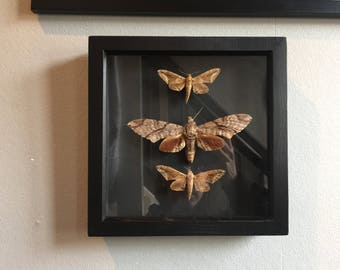Beautiful brown hawks moth x 3 in a mounted black box frame.
