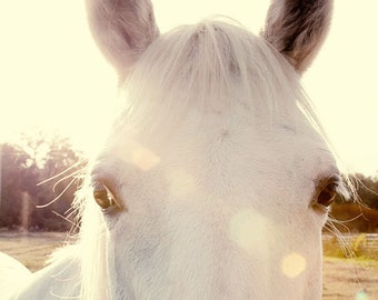 horse photography golden sunlight fine art photograph white horse home decor wall art Sunshine Horse