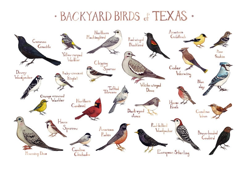 Texas Backyard Birds Field Guide Art Print / Watercolor