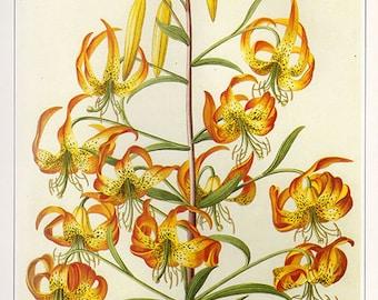 Vintage XLARGE SWAMP LILLY Botanical Print 28 Antique Flower print botanical print, bookplate art print, flowers flower wall print wall art