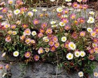 Erigeron- Profusion Mix- 50 Seeds