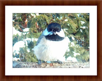 Midwest Bird Photo of a Black Capped Chickadee