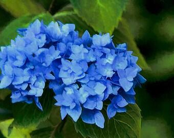 Hydrangea, Flower Image, Garden Art, Garden Photos, Blue Hydrangea Photo,