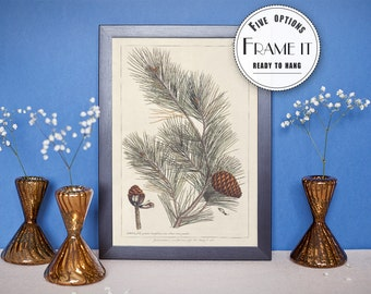 "Vintage illustration of spruce - framed fine art print, botanical art, home decor 8""x10"" ; 11""x14"", FREE SHIPPING - 23"