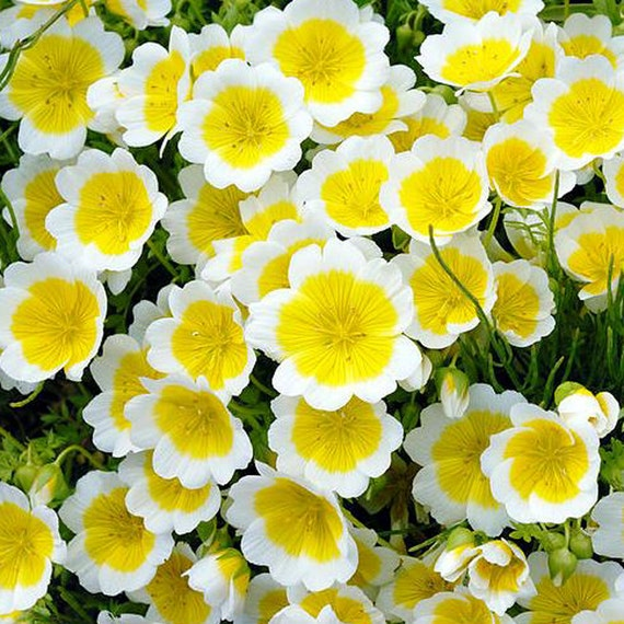 Grow Your Own Poached Eggs Flowers Plant Kit Indoor Windowsill Gardening Gift