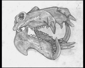 hippopotamus skull