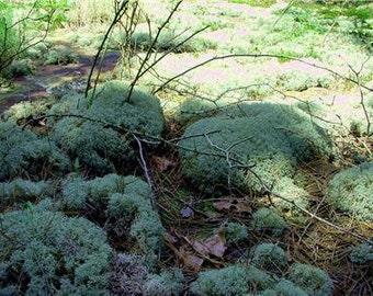 Reindeer Moss-1 Quart Bag Full-Natural Live Moss-Shade Garden Ground Cover