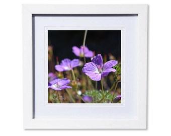 Purple Geranium Flowers Photo Print or Canvas