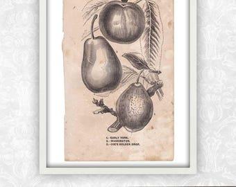 Pear Print / Plant Art / Fruit Print / Book Page / Engraving Wall Art / Digital Instant Download / Antique Print / Victorian Art Print