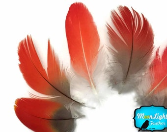Cruelty Free Feathers, 6 Pieces - RED African Grey Parrot Body Plumage Feathers - rare- : 3945