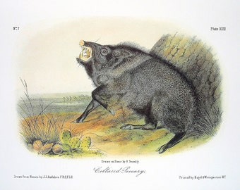 Collared Peccary 1989 Vintage Audubon Book Plate Page for Framing Naturalist Illustration