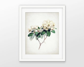 Rhododendron Print - Rhododendron Illustration - Rhododendron Art - White Flower - Botanical Print - Single Print #1569 - INSTANT DOWNLOAD