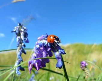 Ladybug (Coccinella Septempunctata), Nature Photography