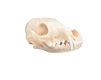Real Bone Fox Skull