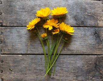 Lanceleaf Coreopsis, organic seeds, heirloom seeds, flower seeds, wildflower seeds, gardener gift, organic gardening, cottage garden, flower