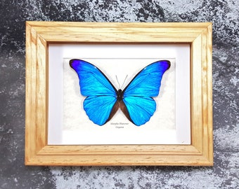 FREE SHIPPING Real Framed Morpho Rhetenor or The Rhetenor Blue Morpho Butterfly Taxidermy A1-/A- #65