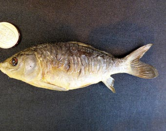 TAXIDERMY Small Young Mirror Carp (no:1) Free Standing Mount. Fish Approx. 14.5cm Long