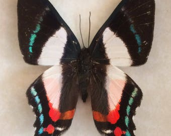 Real metalmark butterfly framed - Ancyluris formosisima