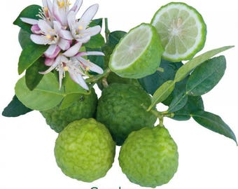 Kaffir lime KAFFIR lime tea leaves