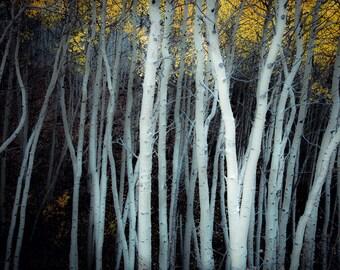 Aspen trees fall, fall tree photo, aspen tree decor, Colorado art, rustic wall decor, log cabin art, fall leaves photo | Olde Worlde Aspens